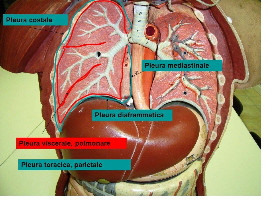 Arco aortico Glomo aortico Carotide comune Carotide esterna-interna Seno carotideo Glomo carotideo Centro respiratorio Centro pneumotassico