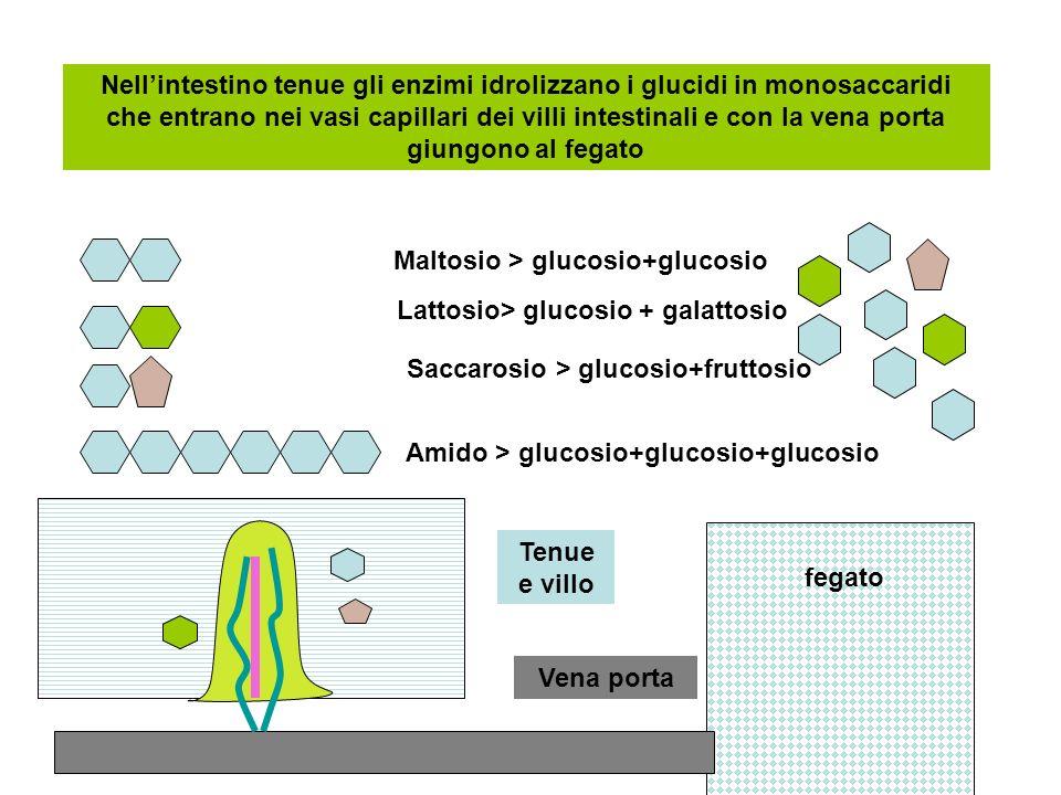 fegato Nellintestino tenue gli enzimi idrolizzano i glucidi in monosaccaridi che entrano nei vasi capillari dei villi intestinali e con la vena porta giungono al fegato Maltosio > glucosio+glucosio Lattosio> glucosio + galattosio Saccarosio > glucosio+fruttosio Amido > glucosio+glucosio+glucosio Vena porta Tenue e villo