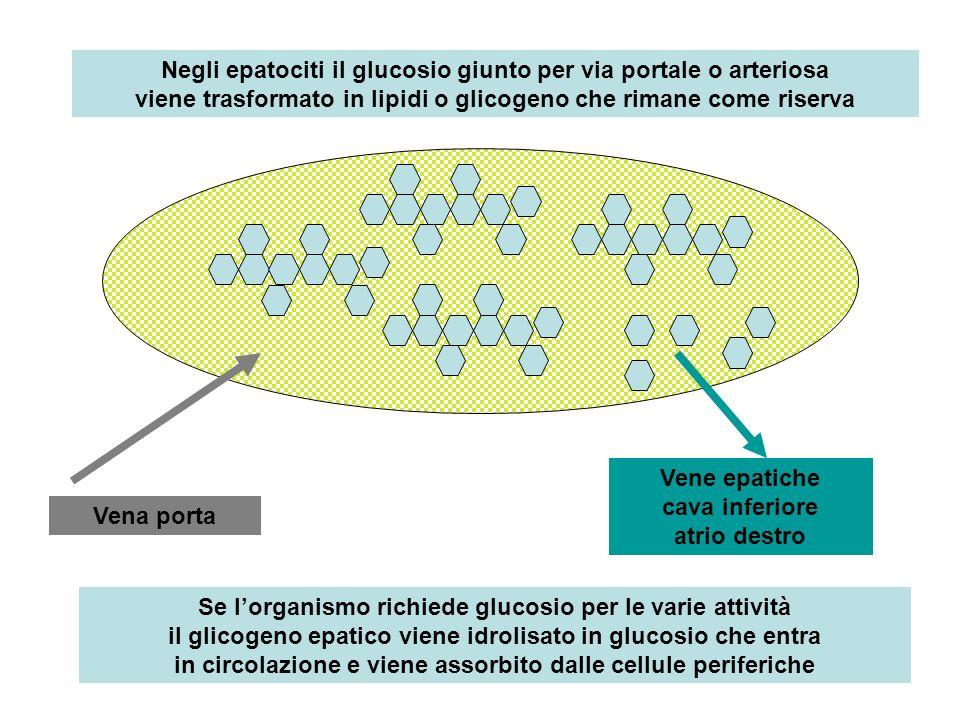 Negli epatociti il glucosio giunto per via portale o arteriosa viene trasformato in lipidi o glicogeno che rimane come riserva Se lorganismo richiede glucosio per le varie attività il glicogeno epatico viene idrolisato in glucosio che entra in circolazione e viene assorbito dalle cellule periferiche Vena porta Vene epatiche cava inferiore atrio destro