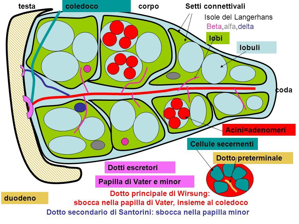 fegato Nellintestino tenue gli enzimi idrolizzano le proteine in amminoacidi che entrano nei vasi capillari dei villi intestinali e con la vena porta giungono al fegato Vena porta Tenue e villo Proteina: catena di amminoacidi Nel fegato vengono trasformati in varie proteine enzimi epatici, albumina, fattori di coagulazione del sangue (fibrinigeno, protrombina, V, VII, X ) desaminazione ossidativa e produzione di ammoniaca > urea >> reni