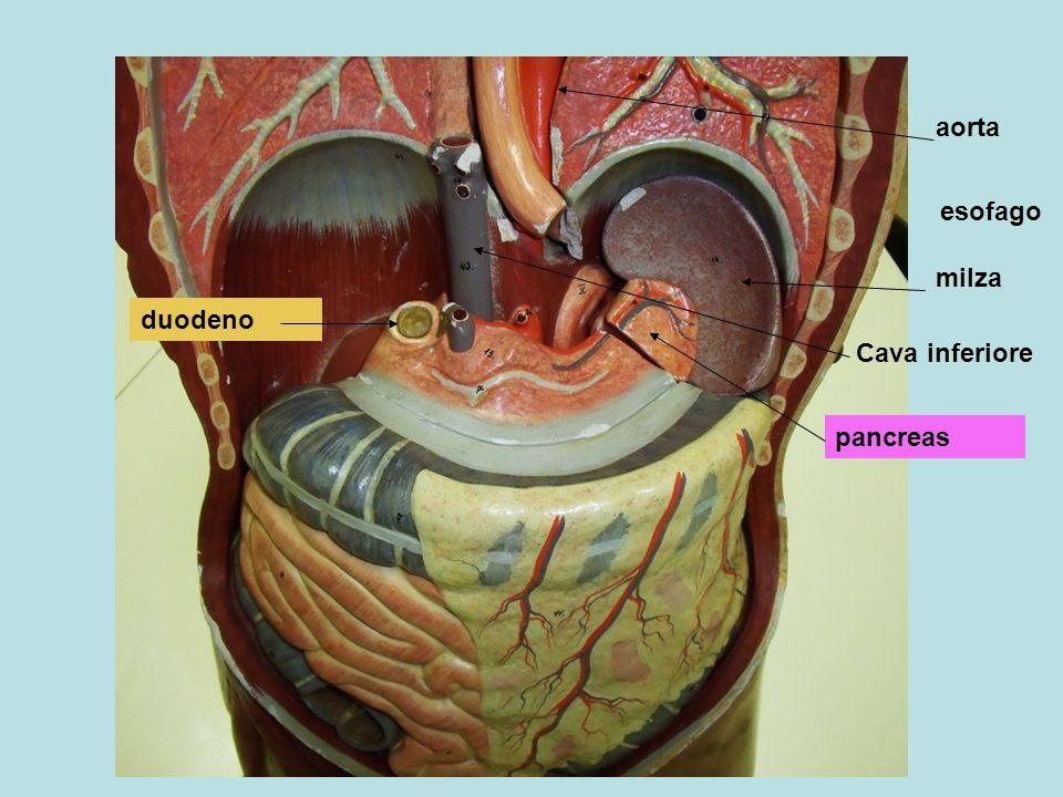fegato Nellintestino tenue i trigliceridi vengono idrolisati in acidi grassi e glicerina e poi risentitizzati:il 40% circa passa nei vasi sanguigni e con la vena porta giunge al fegato; il 60% si lega a proteina formando dei chilomicromi che entrano nel vaso chilifero del villo e passano nella circolazione linfatica, sanguigna, e con questa giungono al fegato Vena porta Tenue e villo Nel fegato vengono conservati come riserva, o usati per produrre energia locale, o per creare lipoproteine (proteina+trigliceridi, colesterolo,fosfolipidi) e inviare così i lipidi alle cellule dellorganismo Trigliceride: acido grasso e glicerina Vaso chilifero linfatici lipoproteina