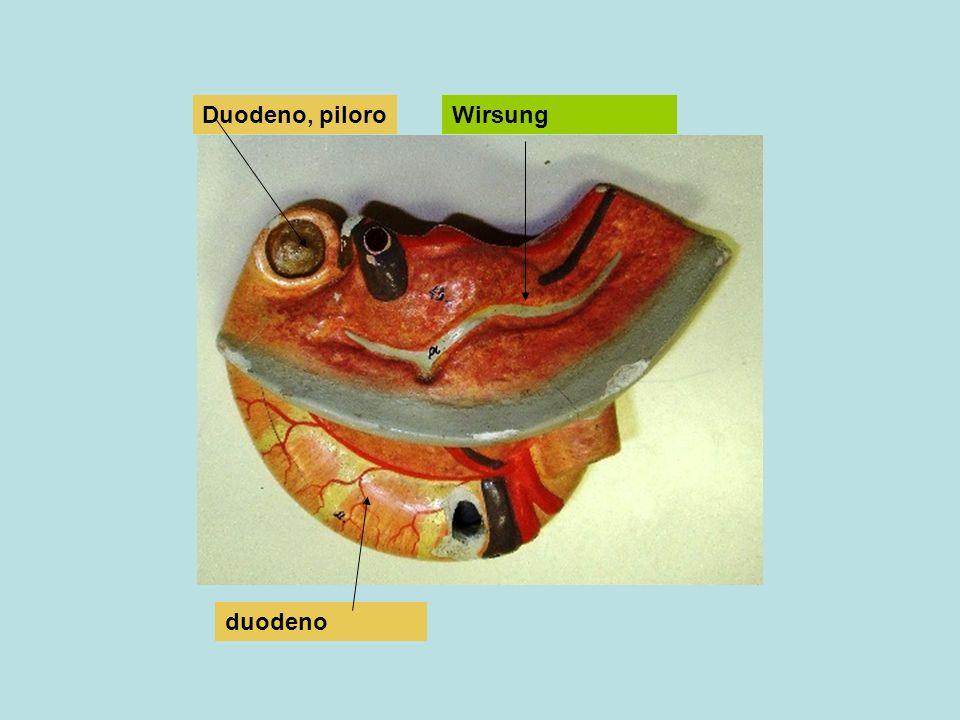 Succo pancreatico Soluzione ricca di varie sostanze, in particolare bicarbonato che serve a ridurre la acidità del chimo proveniente dallo stomaco e rende attivi gli enzini della digestione a livello del tenue Viene secreto in risposta a stimoli di tipo nervoso, psichico, e umorale: da secretina attivata da arrivo di chimo da pancreozimina attivata da peptoni da colecistochinina attivati da lipidi