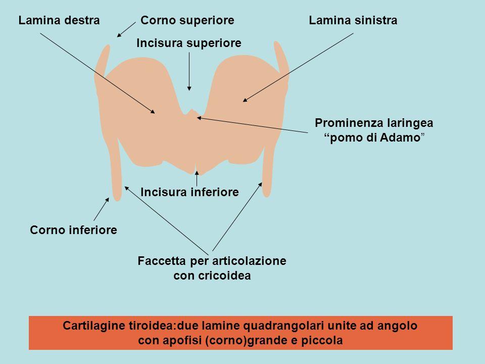 Cartilagine tiroidea:due lamine quadrangolari unite ad angolo con apofisi (corno)grande e piccola Corno superiore Corno inferiore Incisura superiore I