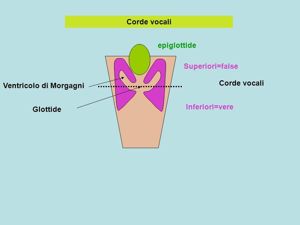 Corde vocali epiglottide Corde vocali Superiori=false Inferiori=vere Ventricolo di Morgagni Glottide