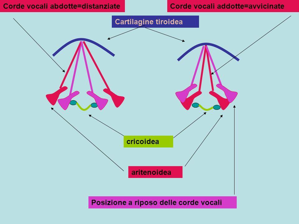 Cartilagine tiroidea cricoidea aritenoidea Corde vocali abdotte=distanziateCorde vocali addotte=avvicinate Posizione a riposo delle corde vocali