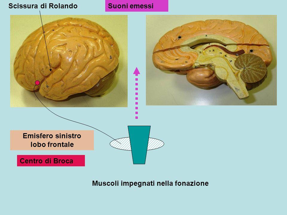 Muscoli impegnati nella fonazione Emisfero sinistro lobo frontale Centro di Broca Suoni emessiScissura di Rolando