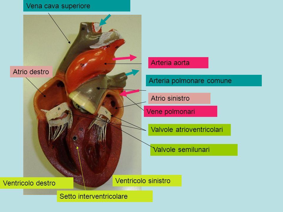Arteria aorta Arteria polmonare comune Vene polmonari Vena cava superiore Valvole atrioventricolari Valvole semilunari Atrio destro Atrio sinistro Ven