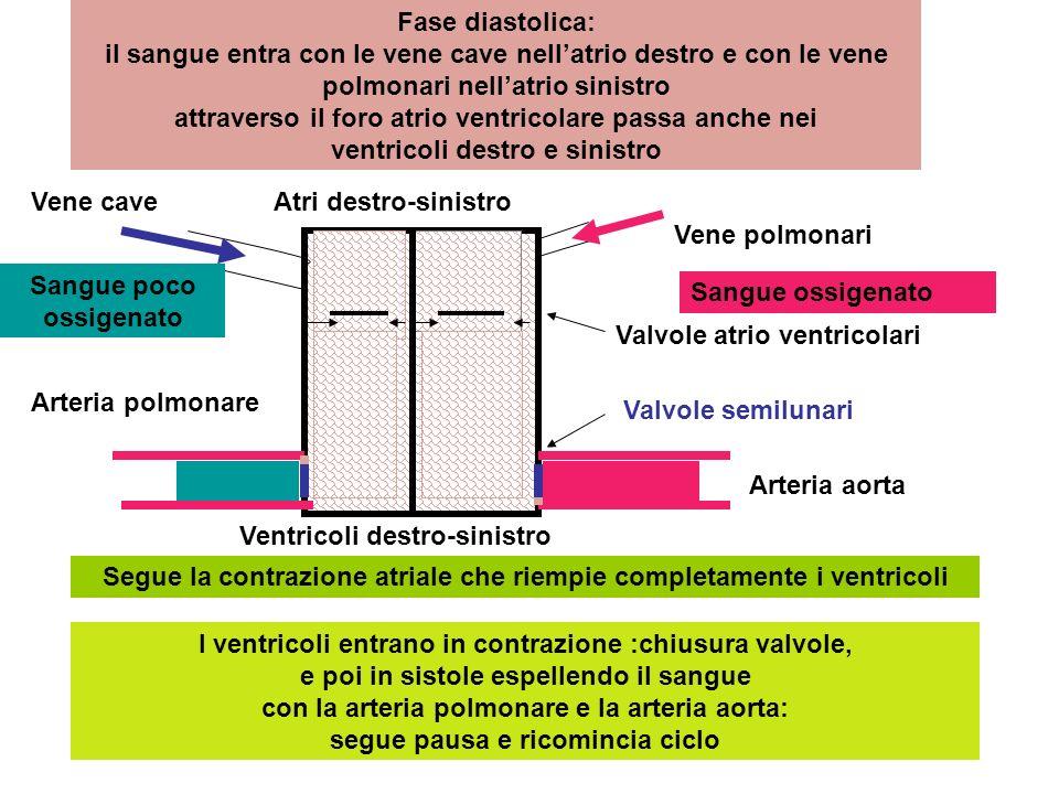 Fase diastolica: il sangue entra con le vene cave nellatrio destro e con le vene polmonari nellatrio sinistro attraverso il foro atrio ventricolare pa