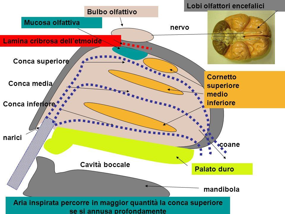 Cornetto superiore medio inferiore Mucosa olfattiva Bulbo olfattivo Lamina cribrosa delletmoide Lobi olfattori encefalici nervo coane Palato duro mand