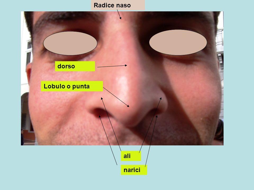 Radice naso dorso Lobulo o punta ali narici