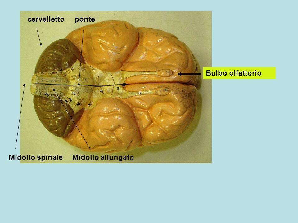 Lobi olfattori Bulbo olfattivo Glomeruli olfattivi Lamina cribrosa delletmoide Cellule epiteliali-mucose Cellule olfattive Muco includente molecole odorose Fibre con collegamento ai lobi olfattori