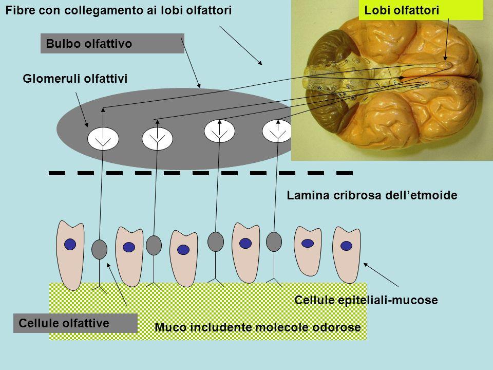 Lobi olfattori Bulbo olfattivo Glomeruli olfattivi Lamina cribrosa delletmoide Cellule epiteliali-mucose Cellule olfattive Muco includente molecole od