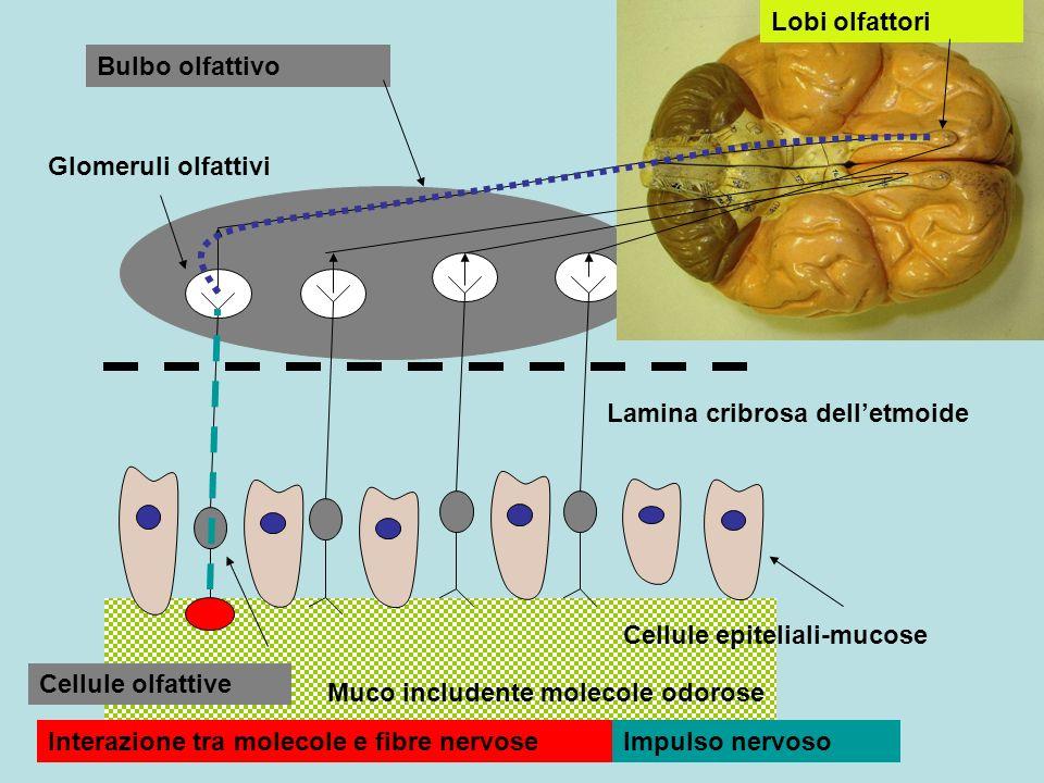 Cornetto superiore medio inferiore Mucosa olfattiva Bulbo olfattivo Lamina cribrosa delletmoide Lobi olfattori encefalici nervo coane Palato duro mandibola Cavità boccale narici Conca superiore Conca media Conca inferiore