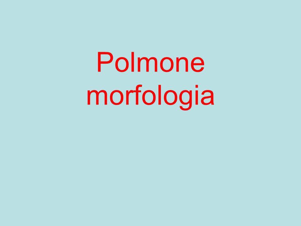 Polmone morfologia