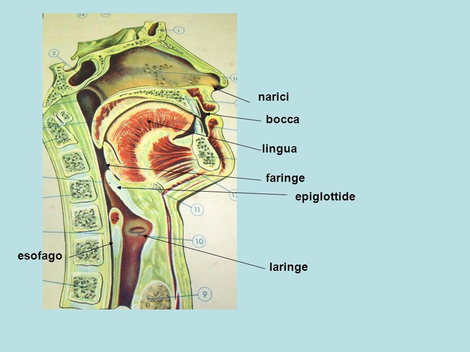 epiglottide laringe esofago narici bocca lingua faringe