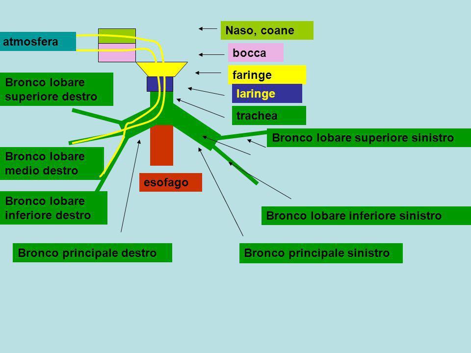 Naso, coane bocca faringe laringe trachea esofago Bronco principale sinistro Bronco principale destro Bronco lobare superiore sinistro Bronco lobare i