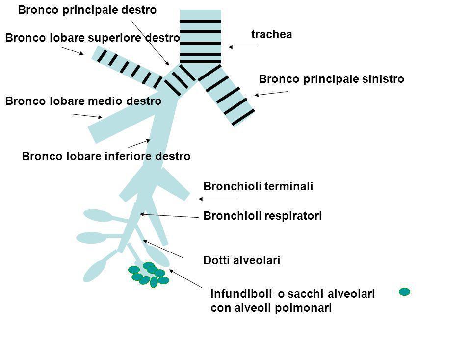 trachea Bronco principale sinistro Bronco principale destro Bronco lobare superiore destro Bronco lobare medio destro Bronco lobare inferiore destro B