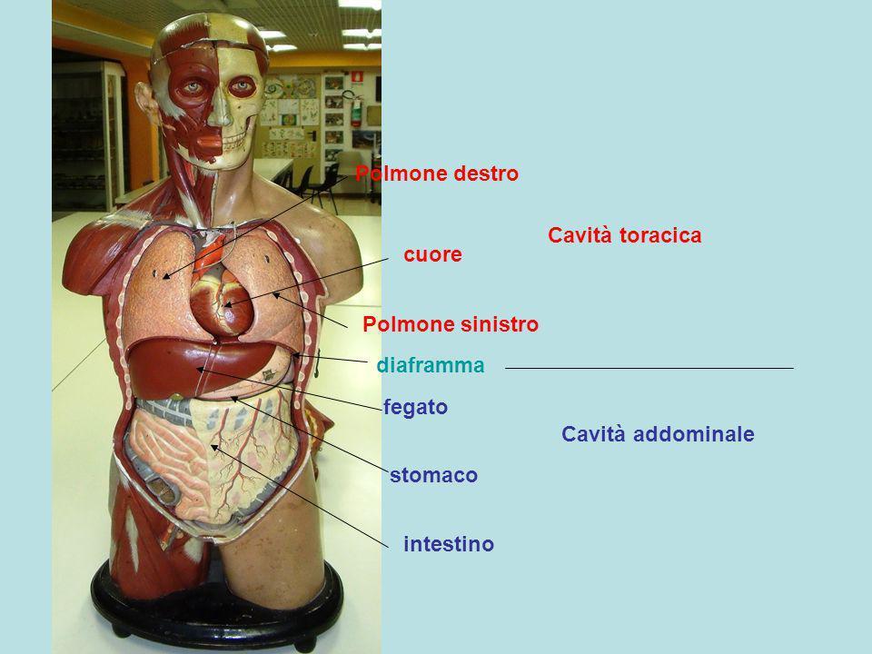 Polmone destro Polmone sinistro cuore fegato diaframma stomaco intestino Cavità toracica Cavità addominale