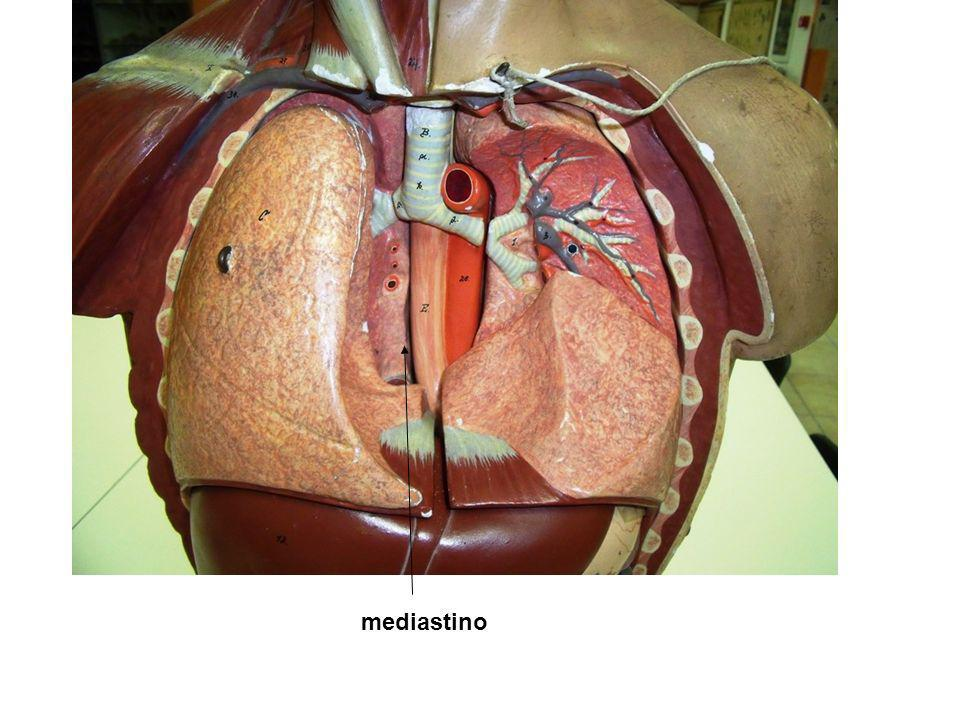Arteria aorta Arteria polmonare Lobo superiore Lobo medio Lobo inferiore Lobo superiore Spazio mediastico e cuore Incisura cardiaca Apice polmone Fessura obliqua Fessura orizzontale Base polmonare