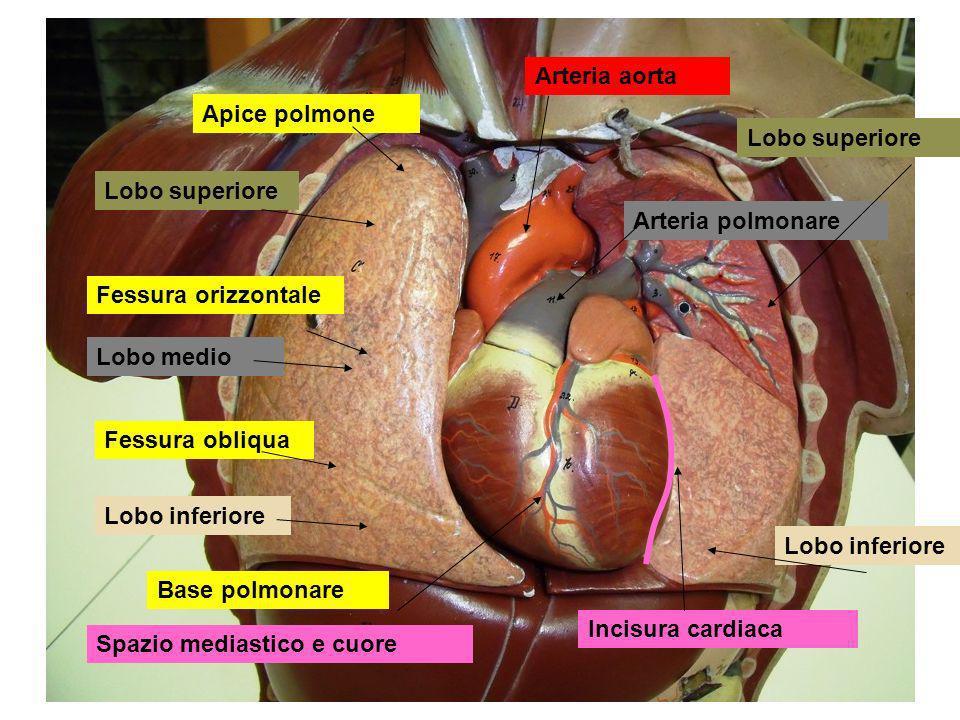 Polmoni: con tre lobi destro, due lobi sinistro lobi individuati da scissure Albero bronchiale : Bronchi lobari, superiore,medio, inferiore :destri Bronchi lobari, superiore, inferiore, sinistro Ilo polmonare : passaggio di bronchi, vasi sanguigni, nervi Bronco principale > bronco lobare > bronchiolo terminale > bronchioli respiratori > dotti alveolari > infundibolo > alveoli Pleure: avvolgono i polmoni, protezione, rendono possibile la dilatazione dei polmoni a seguito della dilatazione toracica Viscerale (splancnopleura, polmonare):aderisce al polmone Parietale (somatopleura, costale) :aderisce alla cavità toracica, al diaframma, agli organi nel mediastino Spazio intrapleurico con liquido lubrificante e tensioattivo:permette adesione tra le due pleure
