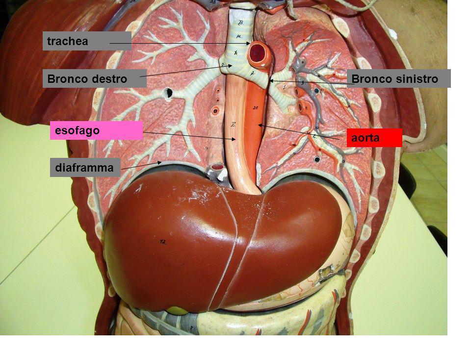 trachea Bronco principale sinistro Bronco principale destro Bronco lobare superiore destro Bronco lobare medio destro Bronco lobare inferiore destro Bronchioli terminali Bronchioli respiratori Dotti alveolari Infundiboli o sacchi alveolari con alveoli polmonari