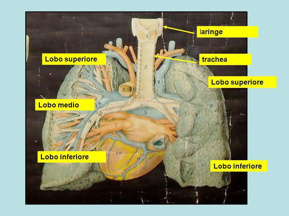 trachea Bronco principale sinistro Bronco principale destro Bronco lobare superiore destro Bronco lobare medio destro Bronco lobare inferiore destro Bronchioli terminali Bronchioli respiratori Dotti alveolari Infundiboli con alveoli polmonari Percorso dellaria durante la inspirazione Percorso dellaria durante la espirazione