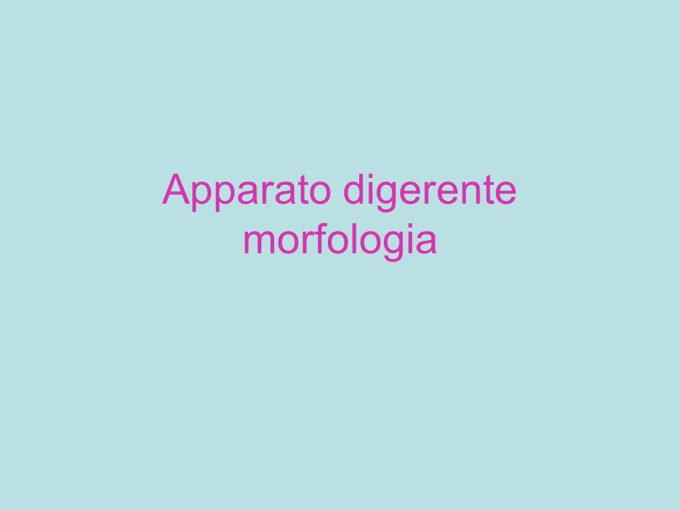 Apparato digerente morfologia