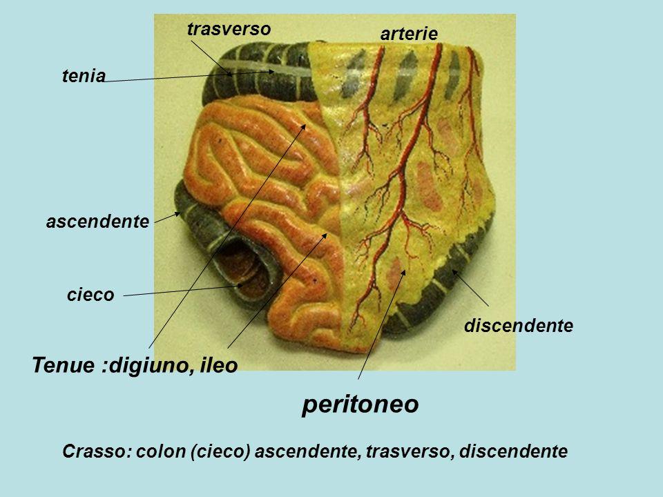 peritoneo Tenue :digiuno, ileo Crasso: colon (cieco) ascendente, trasverso, discendente cieco ascendente trasverso discendente tenia arterie