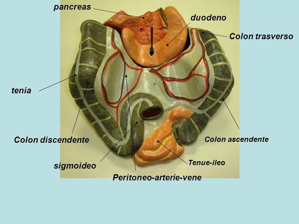 pancreas duodeno Colon ascendente Colon trasverso Colon discendente tenia Peritoneo-arterie-vene Tenue-ileo sigmoideo