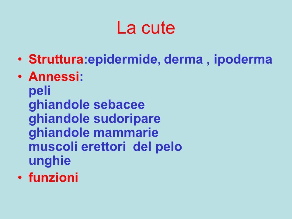 La cute Struttura:epidermide, derma, ipoderma Annessi: peli ghiandole sebacee ghiandole sudoripare ghiandole mammarie muscoli erettori del pelo unghie