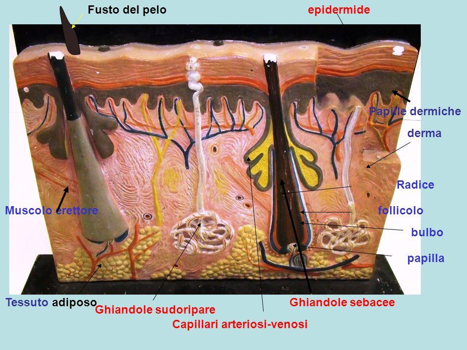 Ghiandole sebacee Ghiandole sudoripare Capillari arteriosi-venosi Fusto del pelo Radice bulbo follicolo papilla Muscolo erettore epidermide derma Papi