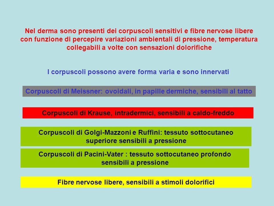 Nel derma sono presenti dei corpuscoli sensitivi e fibre nervose libere con funzione di percepire variazioni ambientali di pressione, temperatura coll