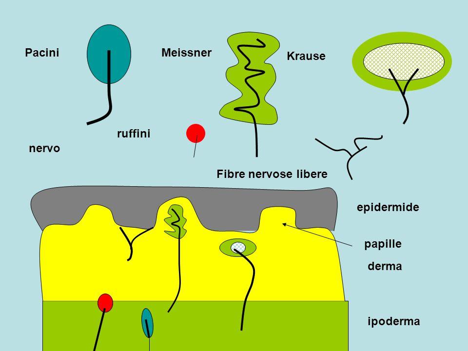 Krause nervo Fibre nervose libere epidermide derma ipoderma papille MeissnerPacini ruffini