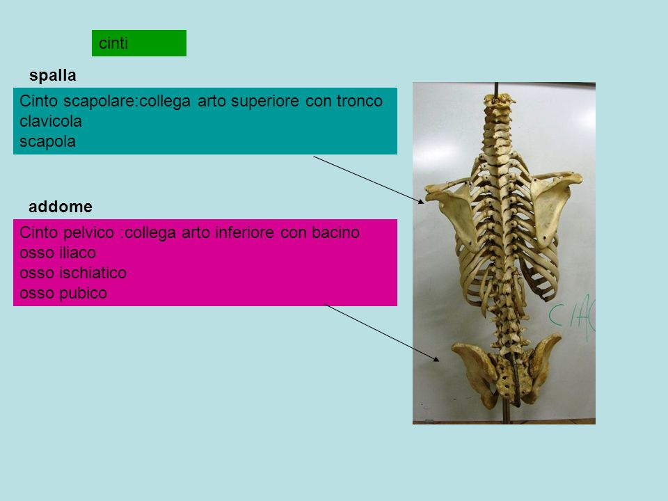 cinti Cinto scapolare:collega arto superiore con tronco clavicola scapola Cinto pelvico :collega arto inferiore con bacino osso iliaco osso ischiatico osso pubico spalla addome