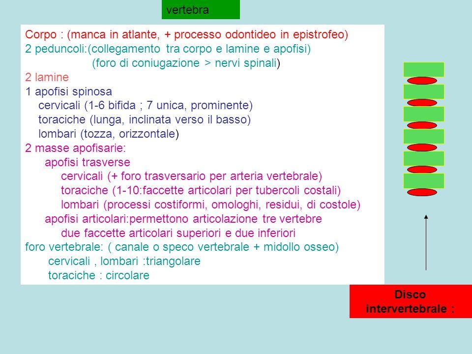 vertebra Corpo : (manca in atlante, + processo odontideo in epistrofeo) 2 peduncoli:(collegamento tra corpo e lamine e apofisi) (foro di coniugazione > nervi spinali) 2 lamine 1 apofisi spinosa cervicali (1-6 bifida ; 7 unica, prominente) toraciche (lunga, inclinata verso il basso) lombari (tozza, orizzontale) 2 masse apofisarie: apofisi trasverse cervicali (+ foro trasversario per arteria vertebrale) toraciche (1-10:faccette articolari per tubercoli costali) lombari (processi costiformi, omologhi, residui, di costole) apofisi articolari:permettono articolazione tre vertebre due faccette articolari superiori e due inferiori foro vertebrale: ( canale o speco vertebrale + midollo osseo) cervicali, lombari :triangolare toraciche : circolare Disco intervertebrale :