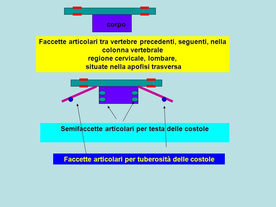Faccette articolari tra vertebre precedenti, seguenti, nella colonna vertebrale regione cervicale, lombare, situate nella apofisi trasversa Semifaccette articolari per testa delle costole corpo Faccette articolari per tuberosità delle costole