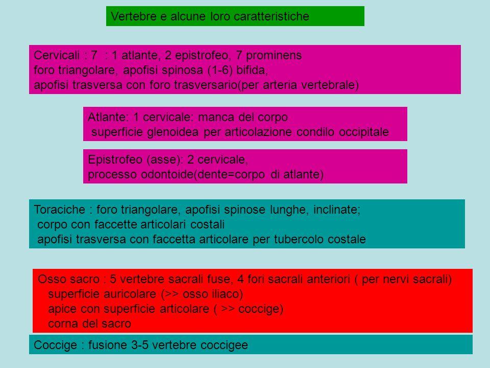 Vertebre e alcune loro caratteristiche Atlante: 1 cervicale: manca del corpo superficie glenoidea per articolazione condilo occipitale Cervicali : 7 : 1 atlante, 2 epistrofeo, 7 prominens foro triangolare, apofisi spinosa (1-6) bifida, apofisi trasversa con foro trasversario(per arteria vertebrale) Epistrofeo (asse): 2 cervicale, processo odontoide(dente=corpo di atlante) Osso sacro : 5 vertebre sacrali fuse, 4 fori sacrali anteriori ( per nervi sacrali) superficie auricolare (>> osso iliaco) apice con superficie articolare ( >> coccige) corna del sacro Coccige : fusione 3-5 vertebre coccigee Toraciche : foro triangolare, apofisi spinose lunghe, inclinate; corpo con faccette articolari costali apofisi trasversa con faccetta articolare per tubercolo costale