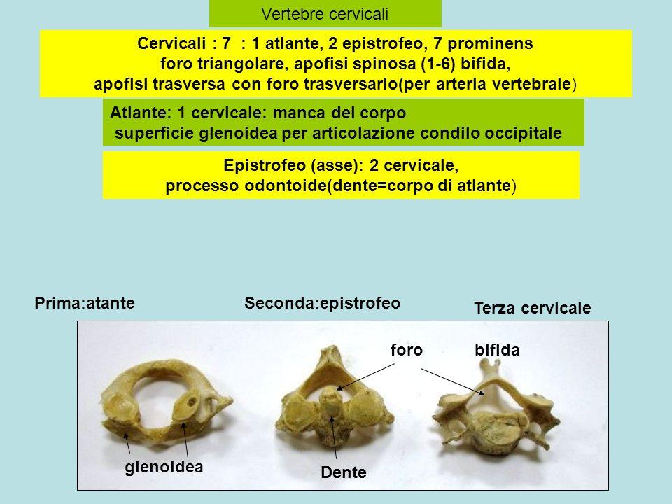 Vertebre cervicali Prima:atanteSeconda:epistrofeo Terza cervicale Atlante: 1 cervicale: manca del corpo superficie glenoidea per articolazione condilo occipitale Cervicali : 7 : 1 atlante, 2 epistrofeo, 7 prominens foro triangolare, apofisi spinosa (1-6) bifida, apofisi trasversa con foro trasversario(per arteria vertebrale) Epistrofeo (asse): 2 cervicale, processo odontoide(dente=corpo di atlante) Dente bifida glenoidea foro