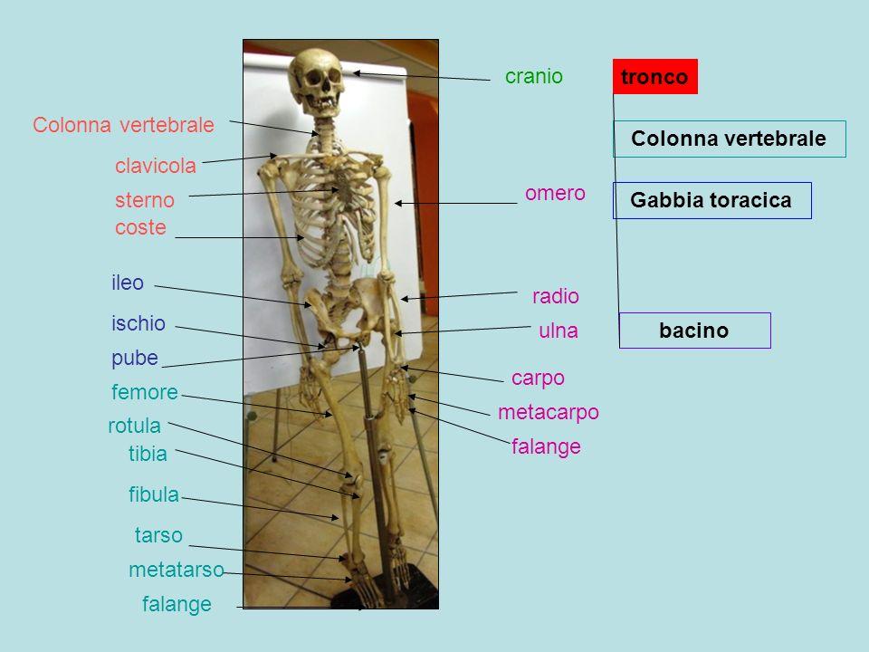 cranio clavicola sterno omero coste Colonna vertebrale radio ulna ileo pube carpo metacarpo falange ischio femore tibia fibula rotula tarso metatarso falange tronco Colonna vertebrale Gabbia toracica bacino
