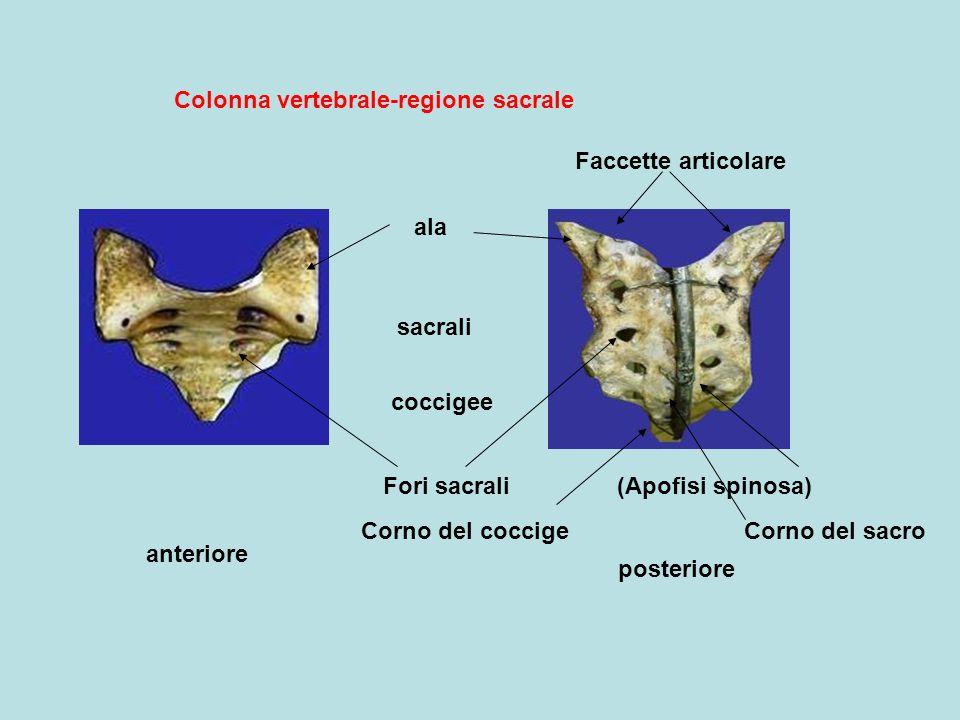 Colonna vertebrale-regione sacrale anteriore posteriore sacrali coccigee Fori sacrali ala Faccette articolare (Apofisi spinosa) Corno del coccigeCorno del sacro