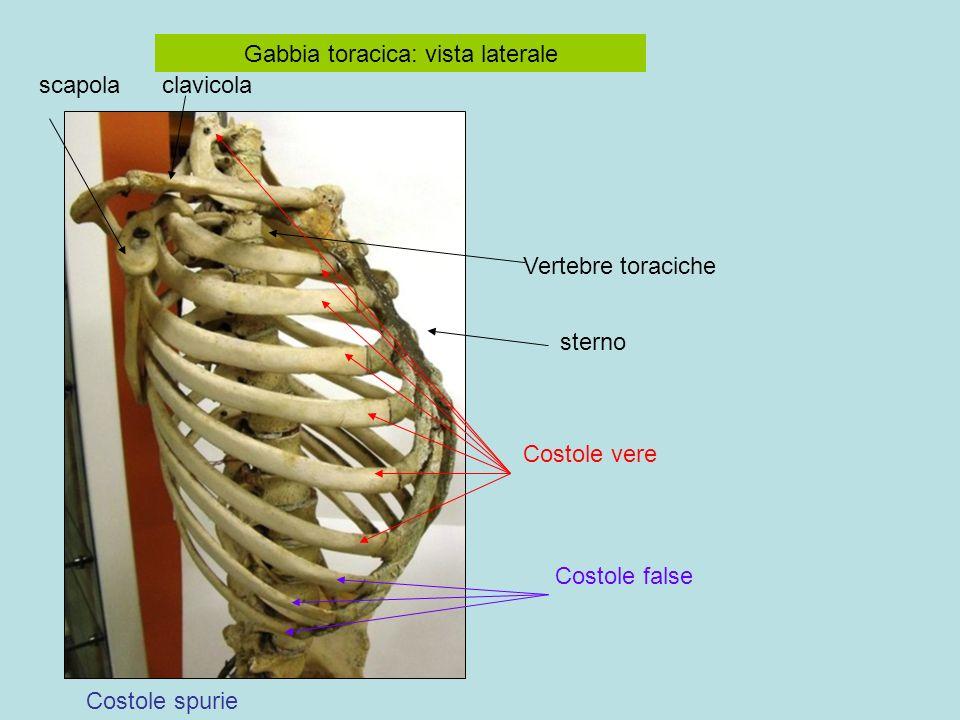 Gabbia toracica: vista laterale clavicolascapola Vertebre toraciche sterno Costole spurie Costole false Costole vere