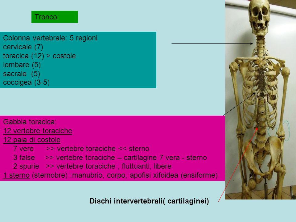 Colonna vertebrale: 5 regioni cervicale (7) toracica (12) > costole lombare (5) sacrale (5) coccigea (3-5) Tronco: Gabbia toracica: 12 vertebre toraciche 12 paia di costole 7 vere >> vertebre toraciche > vertebre toraciche – cartilagine 7 vera - sterno 2 spurie >> vertebre toraciche, fluttuanti, libere 1 sterno (sternobre) :manubrio, corpo, apofisi xifoidea (ensiforme) Dischi intervertebrali( cartilaginei)