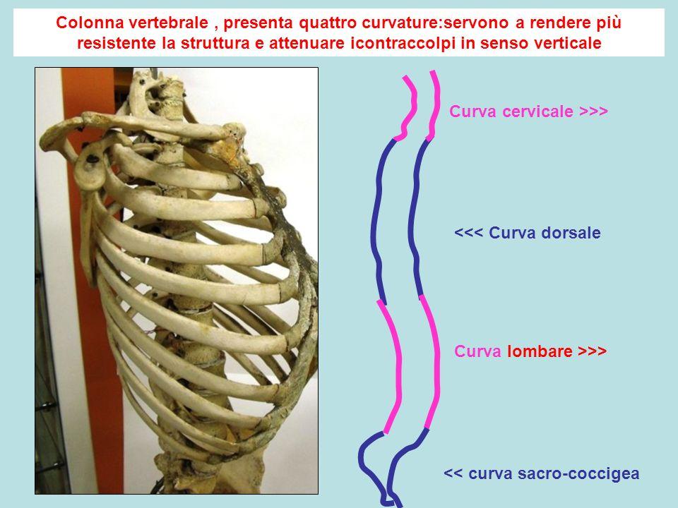 Curva cervicale >>> Curva lombare >>> <<< Curva dorsale << curva sacro-coccigea Colonna vertebrale, presenta quattro curvature:servono a rendere più resistente la struttura e attenuare icontraccolpi in senso verticale