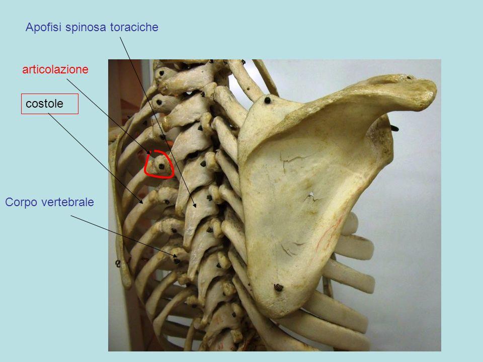 Apofisi spinosa toraciche costole Corpo vertebrale articolazione