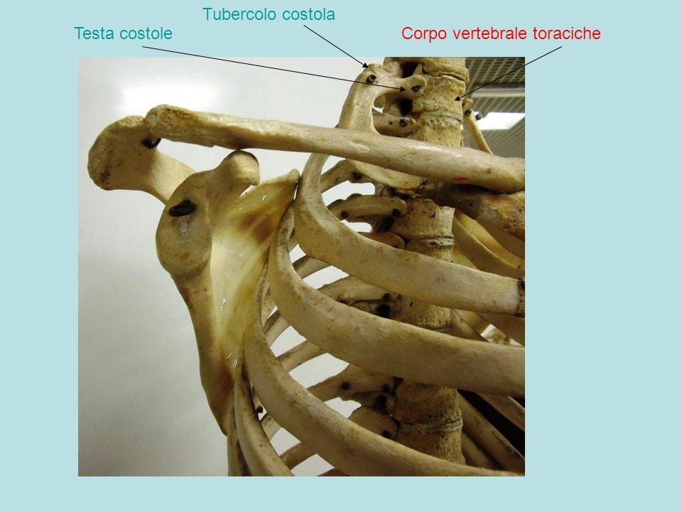 Corpo vertebrale toracicheTesta costole Tubercolo costola