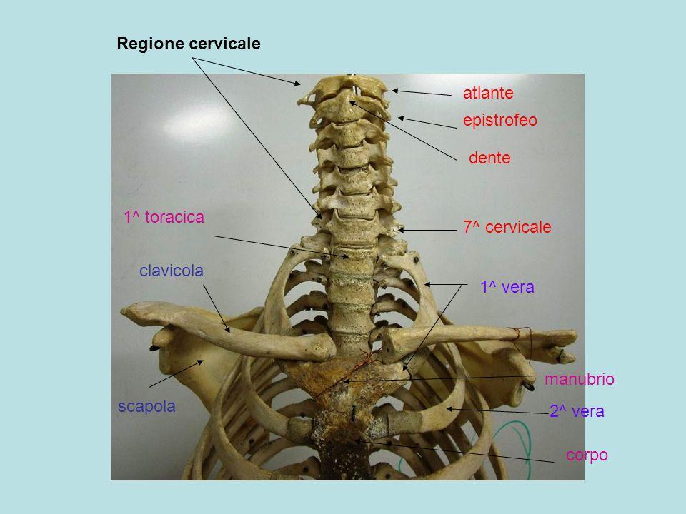 atlante epistrofeo 7^ cervicale dente 1^ toracica clavicola scapola manubrio corpo 1^ vera 2^ vera Regione cervicale