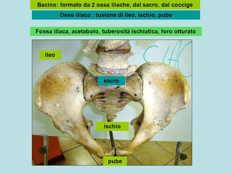 ileo ischio pube sacro Bacino: formato da 2 ossa iliache, dal sacro, dal coccige Osso iliaco : fusione di ileo, ischio, pube Fossa iliaca, acetabolo, tuberosità ischiatica, foro otturato