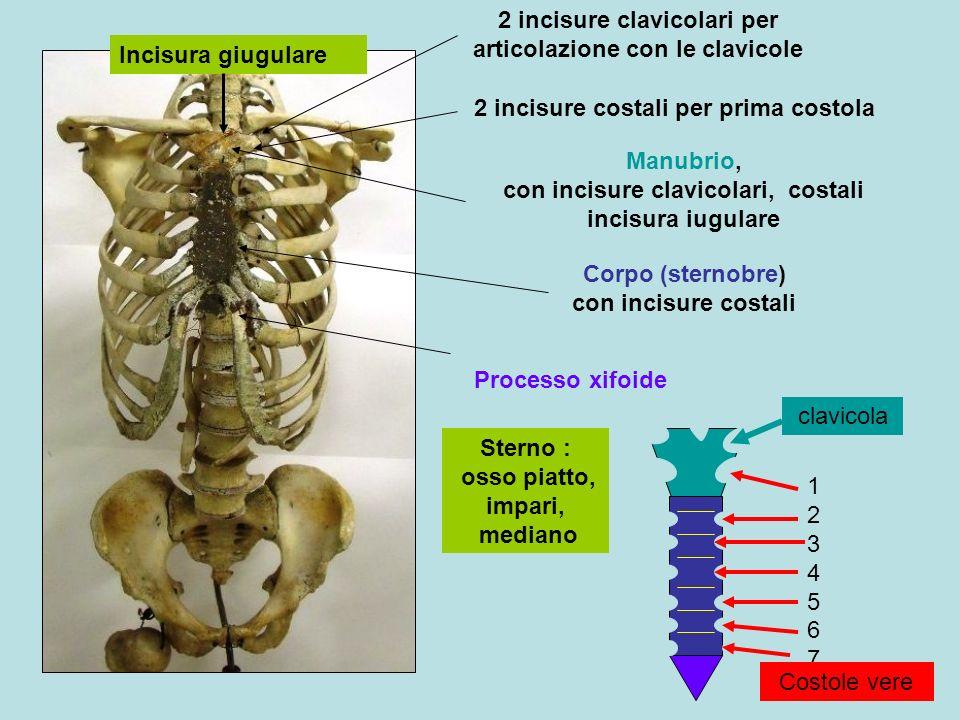 Sterno : osso piatto, impari, mediano Incisura giugulare 2 incisure clavicolari per articolazione con le clavicole 2 incisure costali per prima costola Processo xifoide Manubrio, con incisure clavicolari, costali incisura iugulare Corpo (sternobre) con incisure costali 12345671234567 Costole vere clavicola