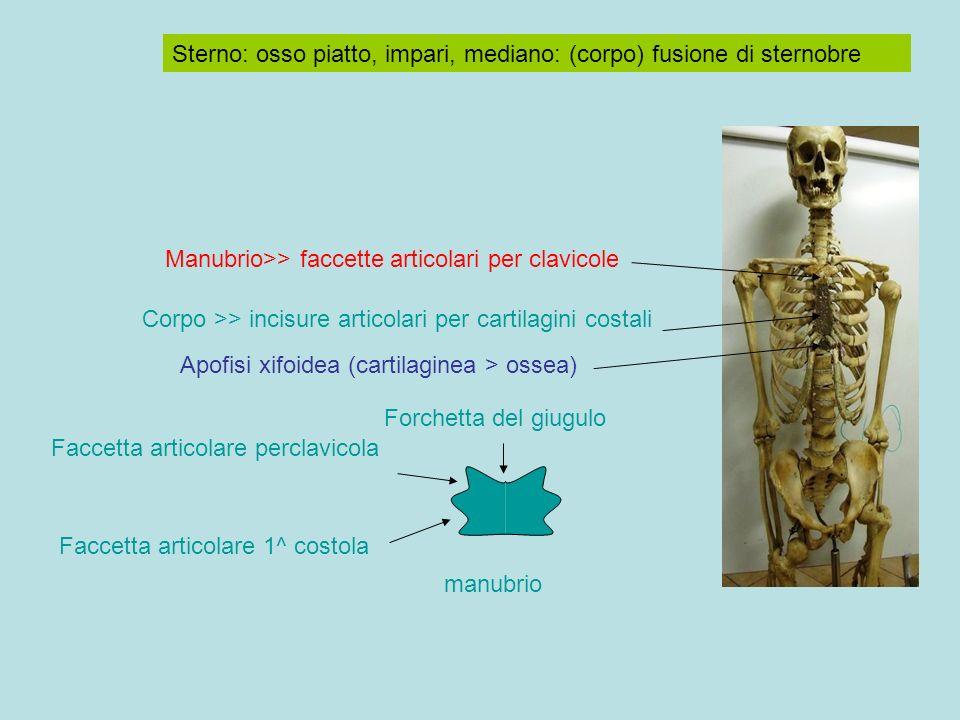 Sterno: osso piatto, impari, mediano: (corpo) fusione di sternobre Manubrio>> faccette articolari per clavicole Corpo >> incisure articolari per cartilagini costali Apofisi xifoidea (cartilaginea > ossea) manubrio Faccetta articolare perclavicola Faccetta articolare 1^ costola Forchetta del giugulo