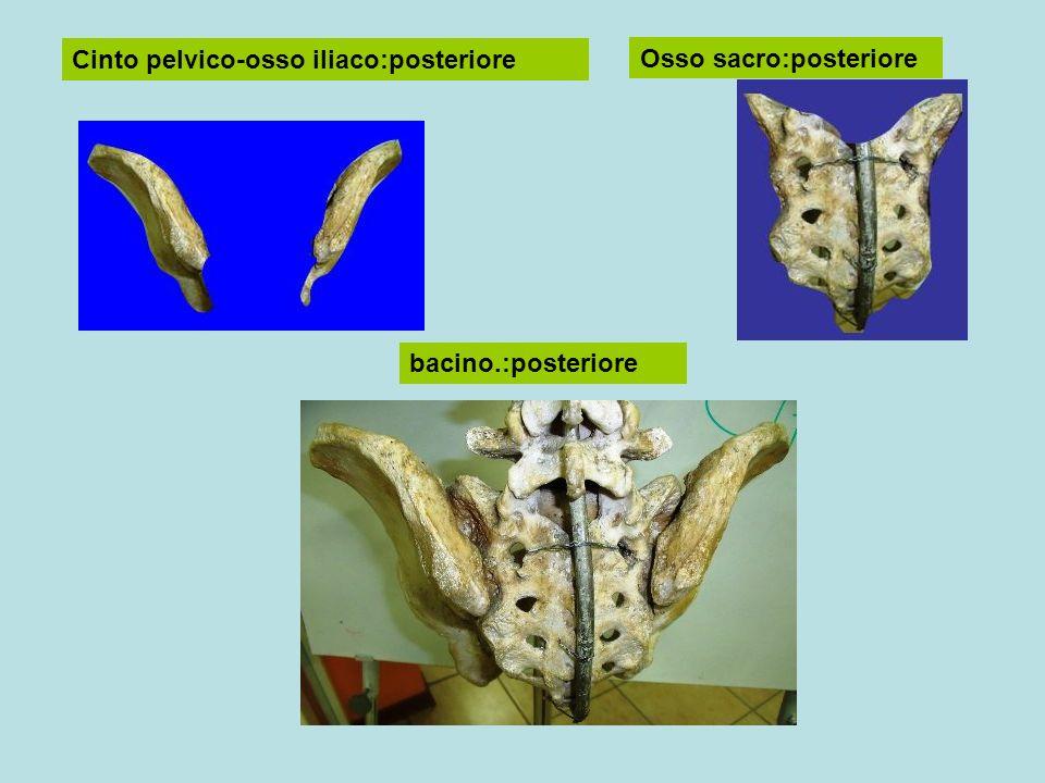 Cinto pelvico-osso iliaco:posteriore Osso sacro:posteriore bacino.:posteriore